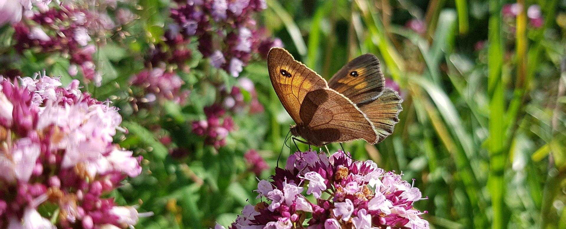 Schmetterling, © Pixabay