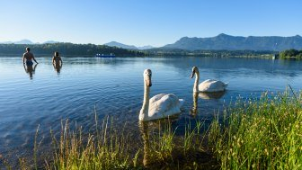 Swans in Lake Staffelsee near Murnau, © Wolfgang Ehn