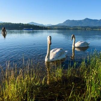 Swans in Lake Staffelsee near Murnau, © Wolfgang Ehn